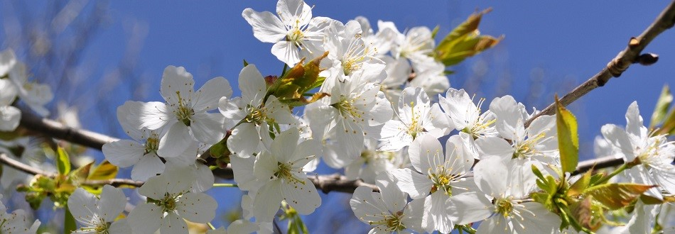 white blooms on a tree, spring